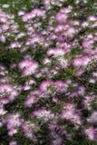 Tuin van roze powderpuff Stock Fotografie