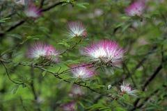 Tuin van roze powderpuff Stock Afbeeldingen