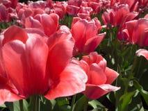 Tuin van van Roze Tulpen royalty-vrije stock afbeeldingen