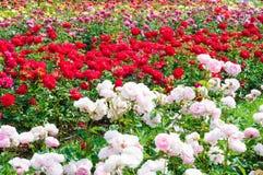 Tuin van rozen Stock Afbeelding