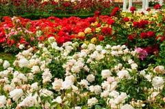 Tuin van rozen stock afbeeldingen