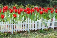 Tuin van tulpen Royalty-vrije Stock Fotografie