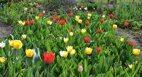 Tuin van Tulpen stock foto's