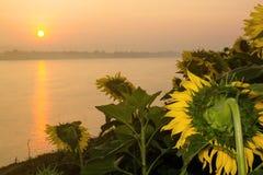 Tuin van zonnebloemen het onder ogen zien Stock Foto
