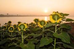 Tuin van zonnebloemen het onder ogen zien Stock Afbeelding