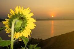 Tuin van zonnebloemen het onder ogen zien Stock Fotografie