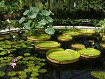 Tuin: vijver met reuzewaterlelies Stock Afbeelding