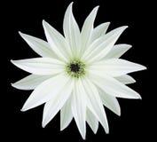 Tuin witte bloem, zwarte geïsoleerde achtergrond met het knippen van weg close-up Geen schaduwen mening van de sterren, voor het  Royalty-vrije Stock Foto