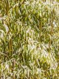 Tuinbamboe dat in witte de wintersneeuw wordt behandeld royalty-vrije stock foto
