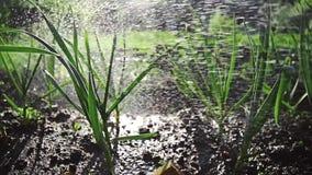 Tuinbed met greens in het zonsonderganglicht water wordt gegeven, het groeien knoflook aan de kant van het land, de zomer diegree stock video