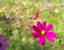 Tuinbloem in een duidelijke dag Royalty-vrije Stock Fotografie