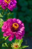Tuinbloem en bloemenachtergrond Royalty-vrije Stock Afbeelding
