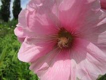 Tuinbloem met roze bloemblaadjes Stock Foto