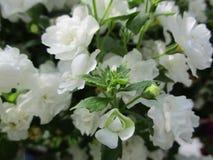 Tuinbloemen met witte bloemblaadjes Stock Foto