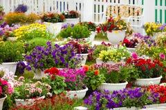 Tuinbloemen van verschillende kleuren in potten Royalty-vrije Stock Foto