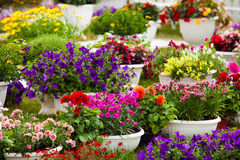 Tuinbloemen van verschillende kleuren in potten Stock Afbeelding