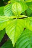 Tuinboom, vers blad na regen Stock Afbeelding