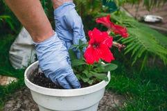 Tuinbouw en het modelleren Het planten van bloemzaailingen in de grond Stock Afbeeldingen