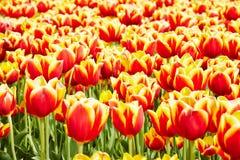 Tuinbouw met tulpen in Nederland stock afbeeldingen