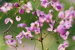 Tuinenbloesem in volledige bloei Bloemen in kleine clusters op een struik abstracte achtergrond Stock Afbeelding