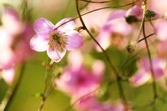 Tuinenbloesem in volledige bloei Bloemen in kleine clusters op een struik abstracte achtergrond Stock Fotografie