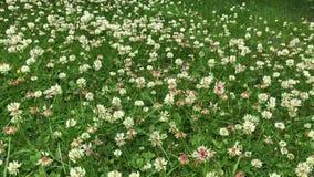 Tuingazon met witte klaver in bloem wordt behandeld die stock video