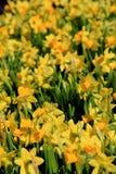 Tuinhoogtepunt van heldere gele gele narcissen Stock Fotografie