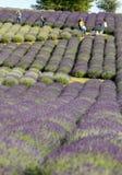 Tuinhoogtepunt van lavendel in Ostrà ³ w 40 km van Krakau De geur en de kleur van lavendel staan bezoekers toe om als in de Prove stock fotografie