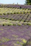 Tuinhoogtepunt van lavendel in Ostrà ³ w 40 km van Krakau De geur en de kleur van lavendel staan bezoekers toe om als in de Prove royalty-vrije stock afbeeldingen