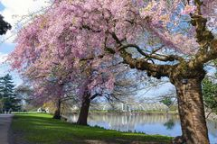 Tuiniert de kersenbloesem die bomen in Kew bloeien, een botanische tuin in zuidwestenlonden, Engeland royalty-vrije stock fotografie