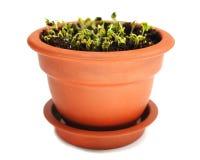 Tuinkers in ceramische pot Royalty-vrije Stock Afbeelding