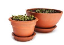 Tuinkers in ceramische pot Stock Fotografie