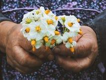 Tuinliedenhanden die bloemen planten Hand die kleine bloem in de tuin houden De aardappelbloemen van de handholding royalty-vrije stock foto's