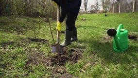 Tuinman die boom in de lentetuin planten die schop met behulp van Landbouwer die in openlucht werken stock footage