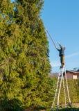 Tuinman die de takken van een lange pijnboomboom snijden met snijder het in orde maken royalty-vrije stock foto