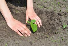 Tuinman Hands Planting Cucumber stock afbeelding