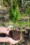 Tuinman Hands Planting, de boom van de Transplantatiecipres, Thuja met Roo stock foto