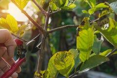 Tuinman het snoeien bomen met het snoeien van scharen op aardachtergrond Stock Foto