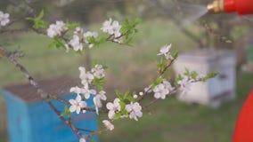Tuinman met het bespuiten van een bloeiende fruitboom tegen plantenziekten en ongedierte De spuitbus van de gebruikshand met pest stock video