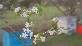 Tuinman met het bespuiten van een bloeiende fruitboom tegen plantenziekten en ongedierte De spuitbus van de gebruikshand met pest stock videobeelden