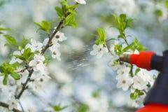 Tuinman met het bespuiten van een bloeiende fruitboom tegen plantenziekten en ongedierte De spuitbus van de gebruikshand met pest royalty-vrije stock foto's