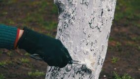 Tuinman Whitewash Tree Trunk met Krijt in Tuin, Boomzorg in de Lente Langzame Motie stock footage