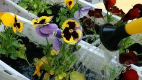 Tuinmanhanden het water geven van gieter pansies of Altviooltricolor in bloempot met vuil of grond stock videobeelden