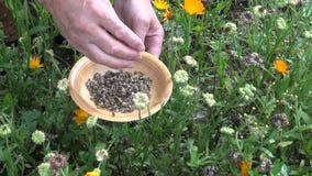 Tuinmankruidkundige in de zaden van de calendulagoudsbloem van de de herfstoogst
