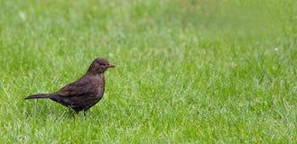 Tuinmerel in Gras Stock Fotografie