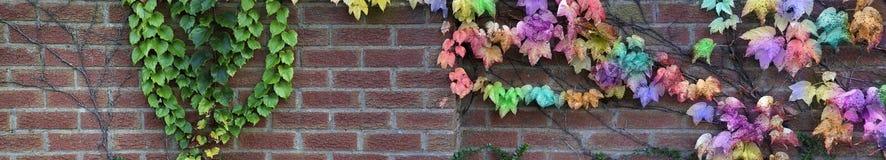 Tuinmuur met regenboog gekleurde klimop royalty-vrije stock fotografie