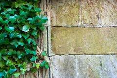 Tuinmuur met wijnstok en exemplaarruimte stock foto's