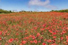 Tuinperceel dat door Bloeiende rode papavers op achtergrond van blauwe hemel met witte pluizige wolken wordt behandeld Heldere, w stock fotografie