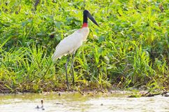 Tuiuiu bird over some plants on the margins of a river. Big bird with white feathers, black head, long beak and a red stripe on neck. Bird of Pantanal, Brazil Royalty Free Stock Images