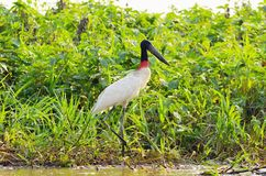 Tuiuiu bird over some plants on the margins of a river. Big bird with white feathers, black head, long beak and a red stripe on neck. Bird of Pantanal, Brazil Royalty Free Stock Photography